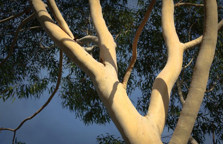 การหาปริมาตรของลำต้นของต้นยูคาลิปตัส